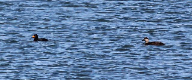 Amerikaanse Zeeeend