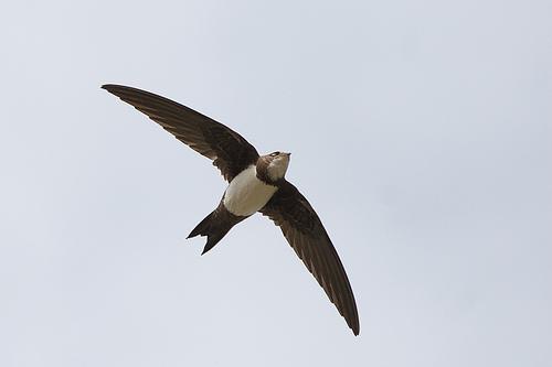 Alpengierzwaluw