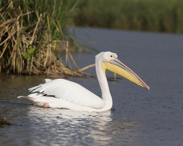 Roze pelikaan