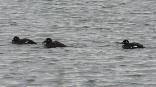Grote Zee-eend