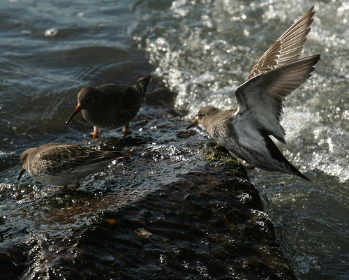 Paarse Strandloper