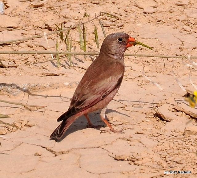 Woestijnvink